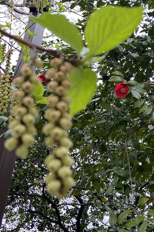 椿と木の実