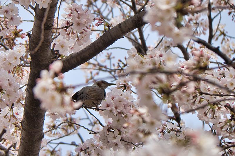 桜とひよどり