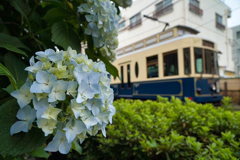 紫陽花と路面電車