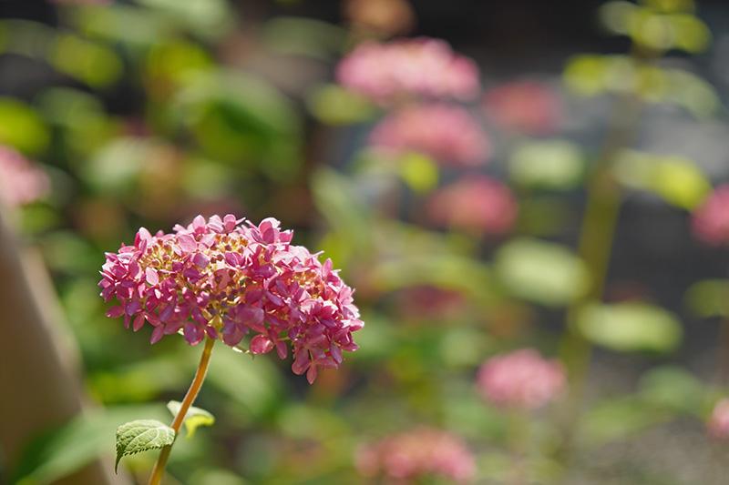 ミニ紫陽花?