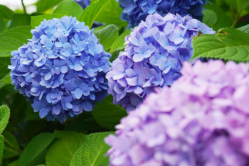 パステル紫陽花