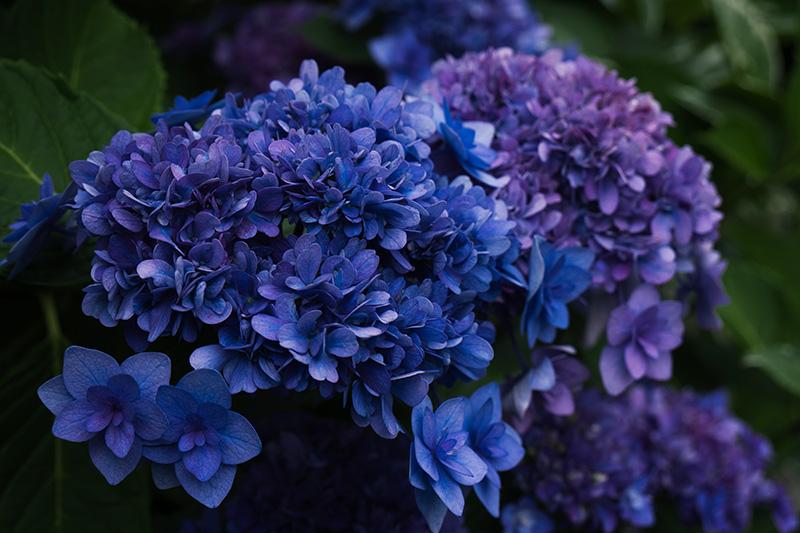 青い八重の紫陽花