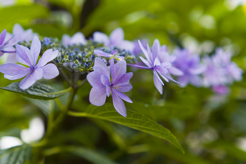 八重咲きのガクアジサイ