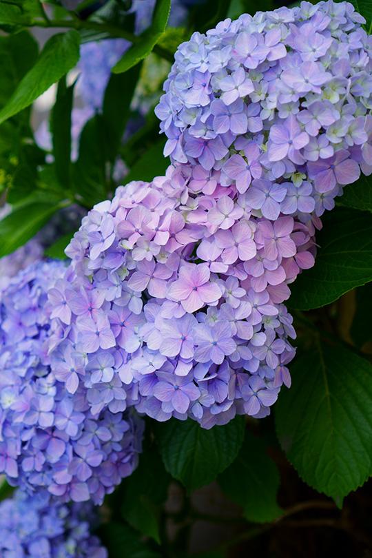 青赤紫陽花