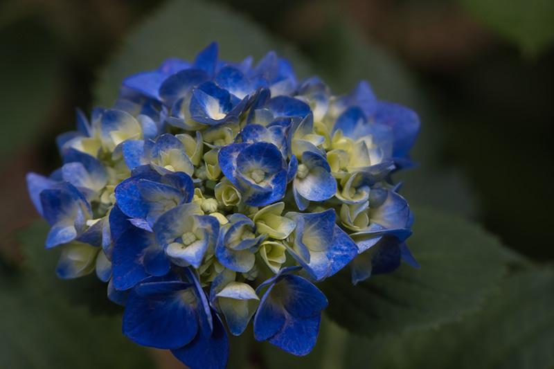 すっごく青い紫陽花