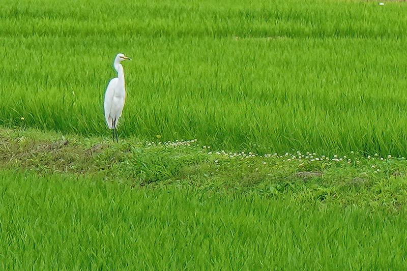 水田に白サギ