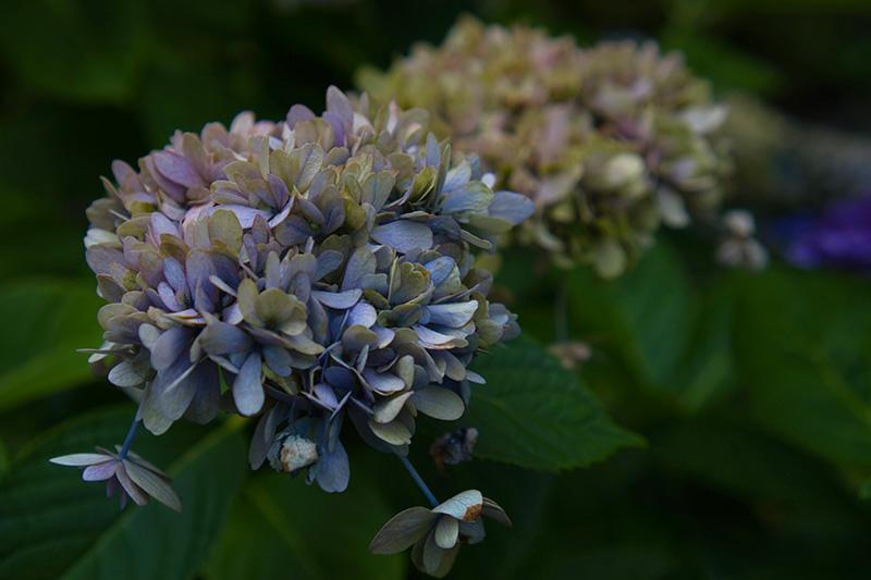青い枯れ紫陽花