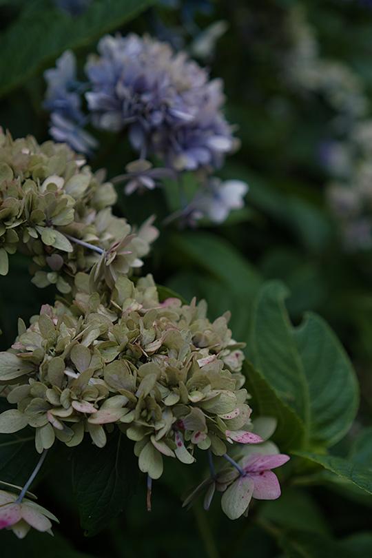 枯れた紫陽花
