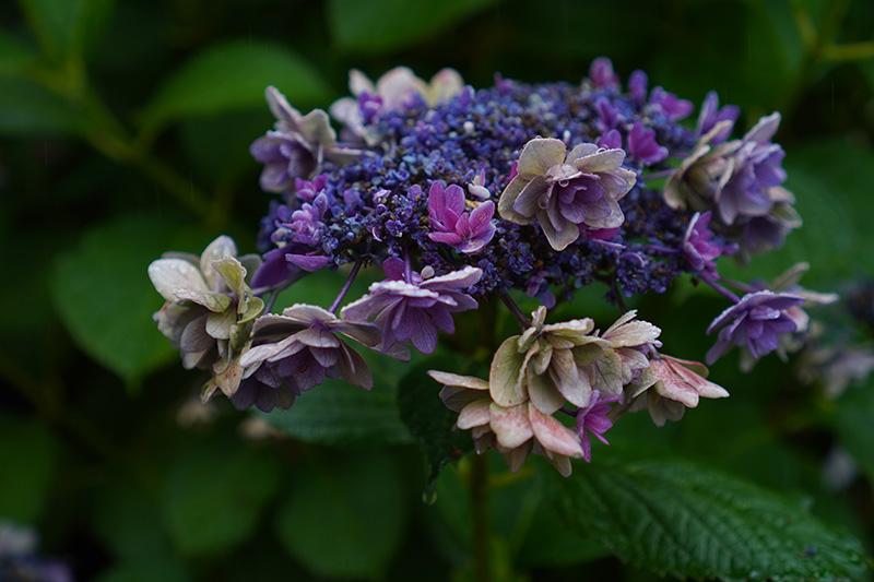 福島の枯れ紫陽花