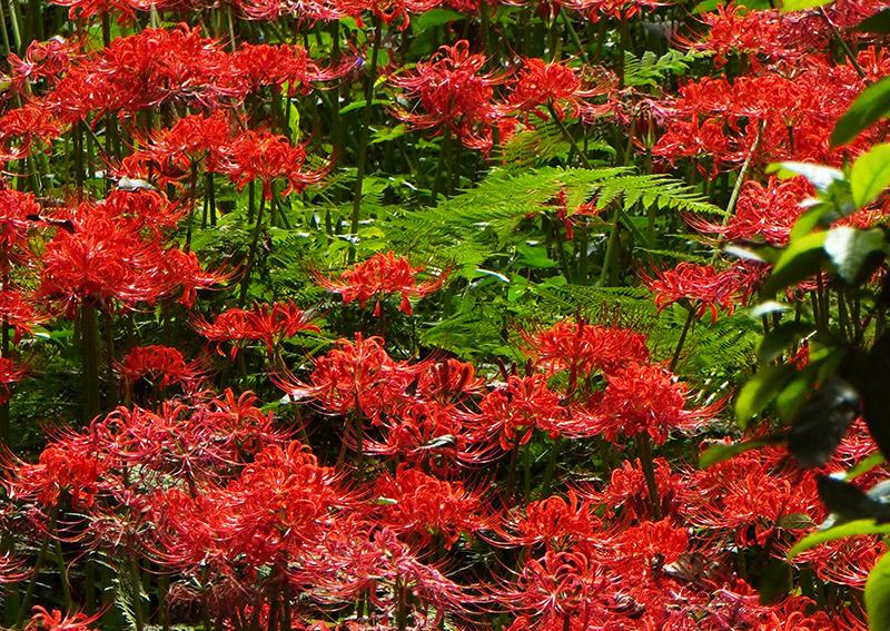 曼珠沙華とシダの葉