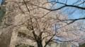 会社ビルの桜