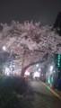 [日常] 桜