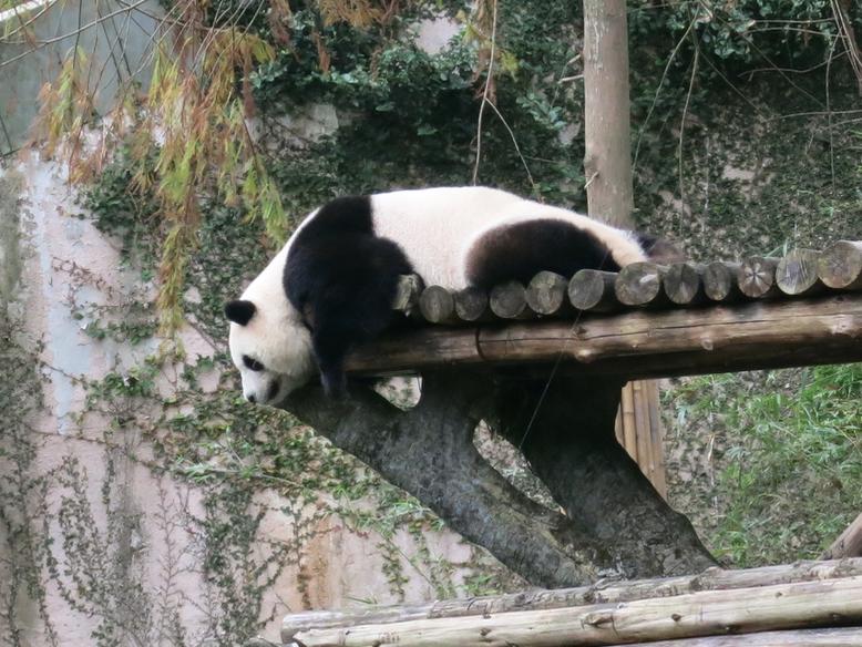 台湾にある台北動物園のパンダ