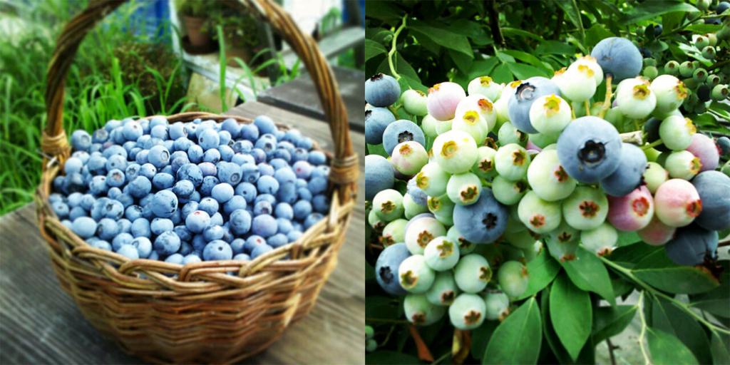 神戸にあるブルーベリー園が時間無制限で食べ放題!で7月7日にオープン!!!