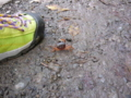 林道で出会ったカニ様。踏まれんなよ。