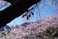 [須坂の桜]豊丘のエドヒガン