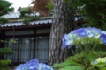 山丸一番館の紫陽花