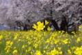 [須坂の桜]村山橋下の桜