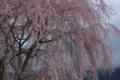 [須坂の桜]野辺 庚申塔の枝垂れ桜