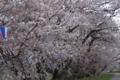 [須坂の桜]村山橋下の桜並木