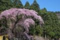 [須坂の桜]大日方町夫婦桜