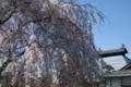 [須坂の桜]八町 大廣院