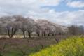 [須坂の桜]相之島町 相之島グラウンド