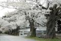 [須坂の桜]普願寺参道