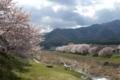 [須坂の桜]鮎川