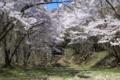 [須坂の桜]本郷町 須坂藩馬場跡
