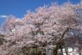 [須坂の桜]豊丘町 延命地蔵堂のエドヒガン