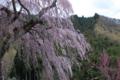 [須坂の桜]豊丘町 弁天さんの枝垂れ桜