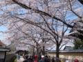 [須坂の桜]普願寺近辺の桜並木