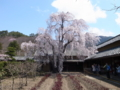 [須坂の桜]田中本家博物館の枝垂れ桜