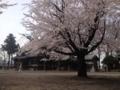 [須坂の桜]墨坂神社芝宮の桜