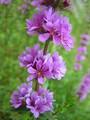 [草花][山野草]エゾミソハギの花