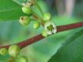[木][山野草]イソノキの花