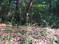 [山野草]サジガンクビソウの群生