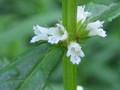 [山野草]ヒメシロネの花