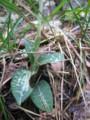 [山野草]ミヤマウズラの葉