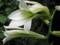 〔山野草〕ウバユリの花