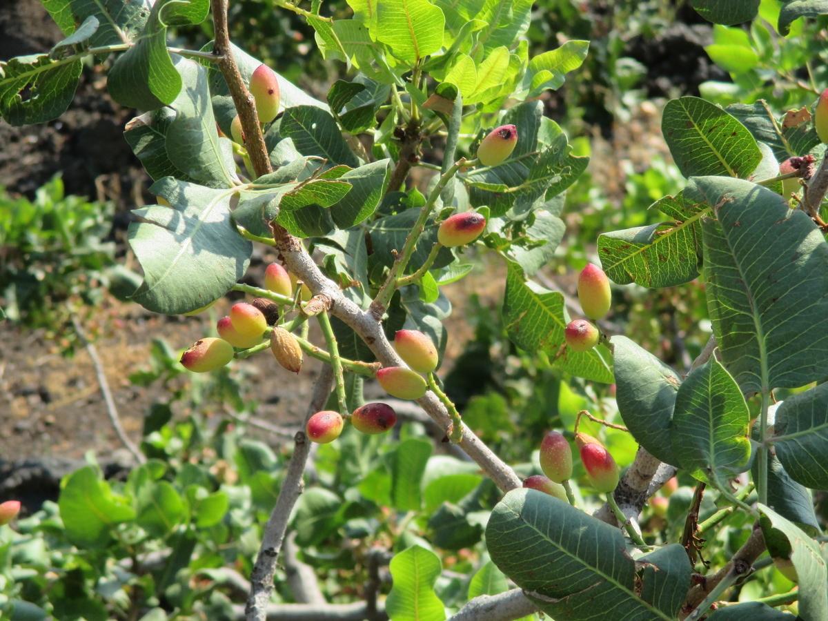 木になるピスタチオの実