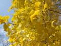 [植物][銀杏]