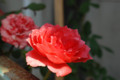 [D80][花][バラ]