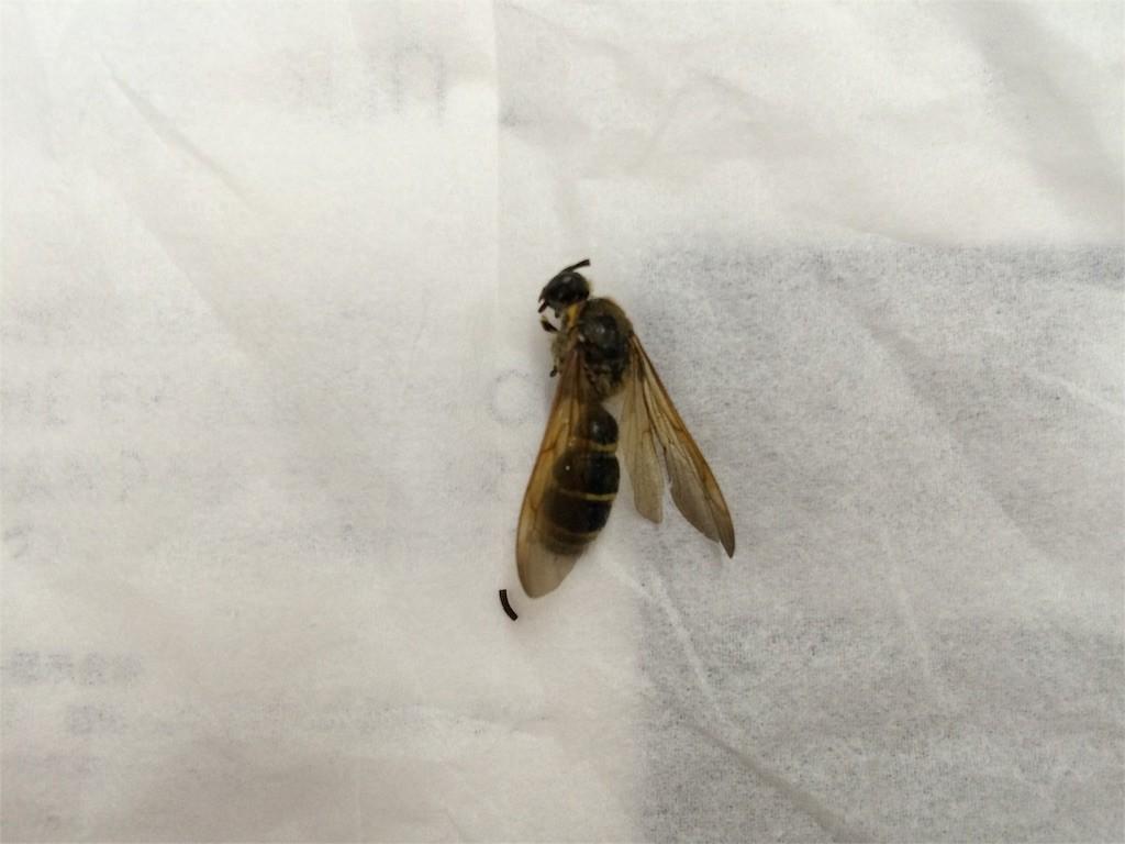 ハチの死骸
