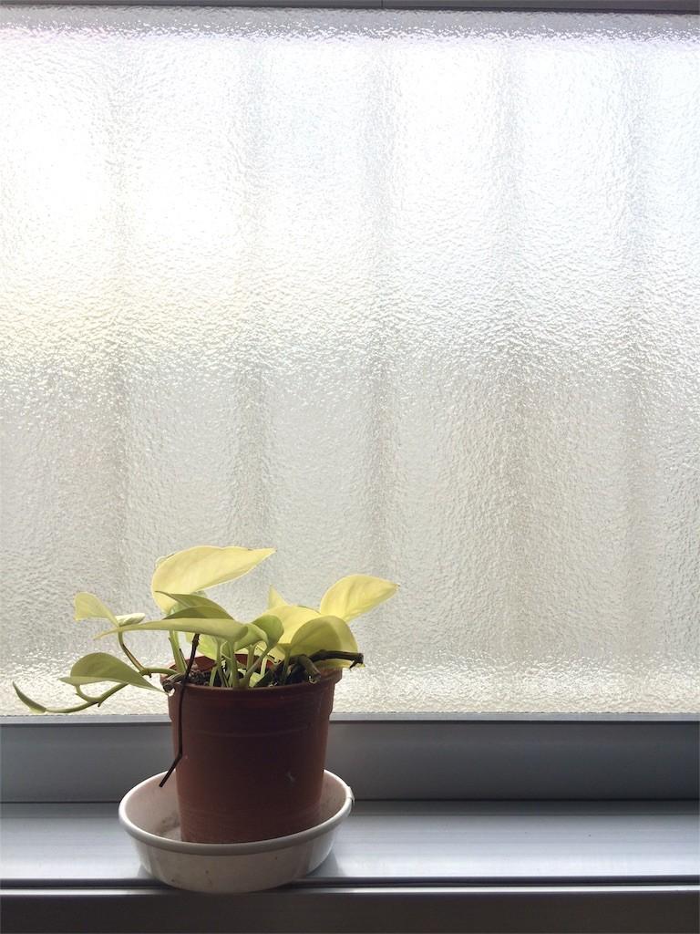 窓際のポトス