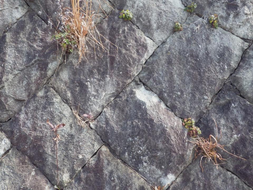 スキマに生える植物。これはススキ?
