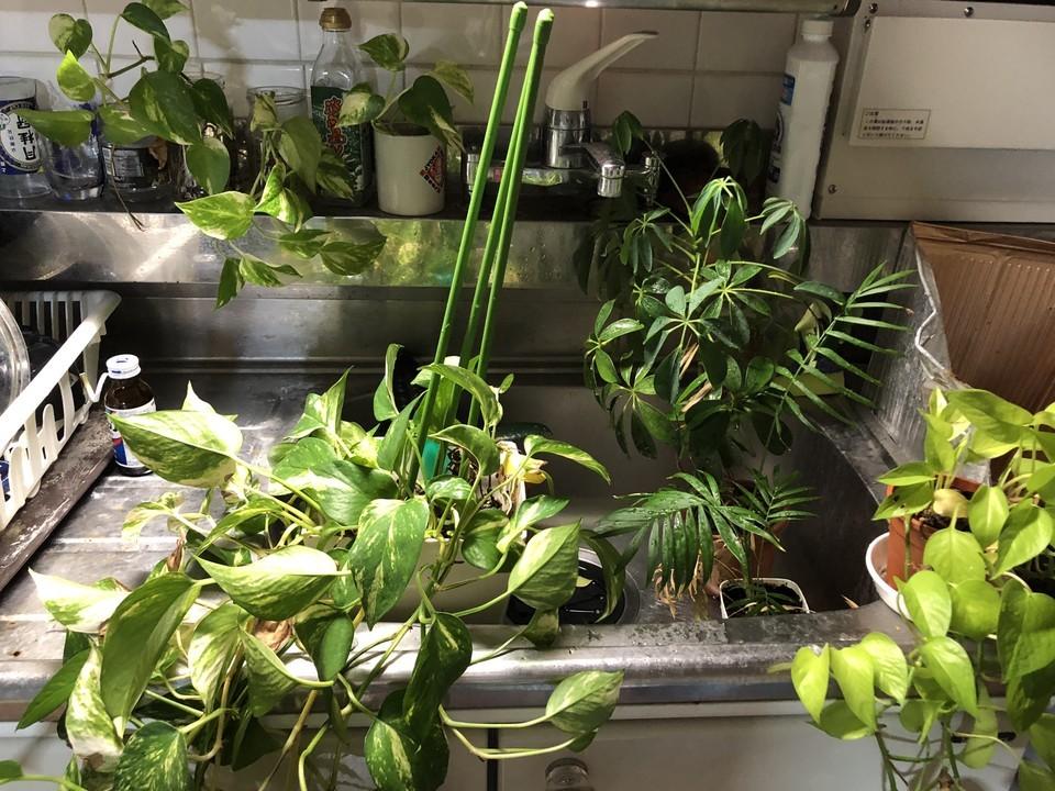 シンクに集めた観葉植物