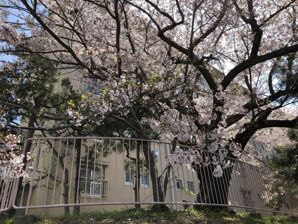 団地桜・見納め