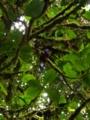 [コスタリカ][ケツァール][Quetzal][鳥類]